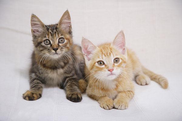 猫汎白血球減少症
