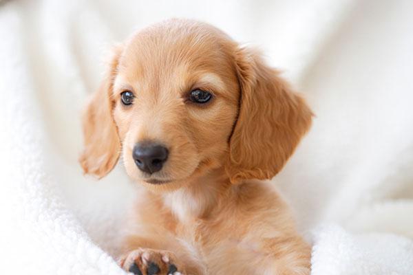 仔犬のワクチン接種について